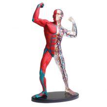 Anatomimodel - Muskler og skjelett
