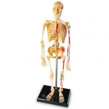 Anatomimodell - Skjelett