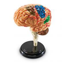 Anatomimodell - Hjerne