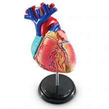 Anatomimodell - Hjerte
