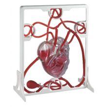 Det pumpende hjerte