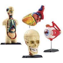 Anatomimodell - Sett m. 4 modeller