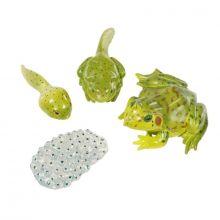 Livssyklus: Fra egg til padde - Frosk